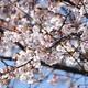 桜を撮りました。昨夜葬儀式について話し合いました。