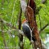 ホテルで出会った Golden-fronted Woodpecker (ゴールデンフロンテッド ウッドペッカー)