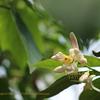 檸檬(レモン)の花 Citrus Limon