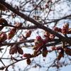 きょうの桜レポート 2018 【第1回】