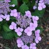 紫陽花を横目に