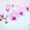 胡蝶蘭の育て方 気をつけること基本は三つ
