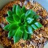 🌵多肉植物  艶々だけど緑なジェイドポイント他🌵