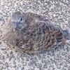 巣から落ちた?キジバトの雛に遭遇してオロオロした話【保護の是非】