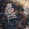 冬の気配:色づく有峰(5)