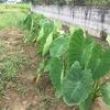 雨続きが奏功して、近年にない成長っぷりを見せるサトイモ