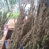 胡麻の収穫☆