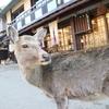 【2016年冬の京都旅行】奈良公園の鹿かわいすぎる~!