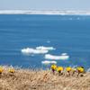 福寿草と流氷