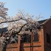 いしかわ赤レンガミュージアム(旧陸軍兵器庫)の桜