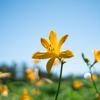 今日から6月:ニッコウキスゲの咲く頃になりました