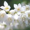 今日の誕生花「バイカウツギ」ウツギは空木でわかりずらい花!
