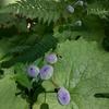 透明な花びら「サンカヨウ」を求めて「砥石山トレラン」
