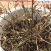 #27 プリペット 今年もハマキムシの被害を受けてしまいました