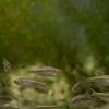 カワバタモロコ Hemigrammocypris rasborella