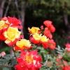 一日一撮 vol.589 番の州公園:バラ祭りもどき5