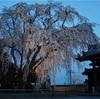 千光寺さんの樹齢150年の枝垂桜 ~ライトアップとドローンと御朱印と~