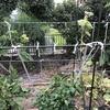 自宅で栽培していたキュウリを撤去しました