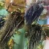 鉄魚の産卵ラッシュ