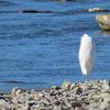 鳥撮り@浅川でカワセミ、ベニマシコ