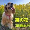 【わんこと旅】国営讃岐まんのう公園(香川県)の菜の花畑!に来たよ!!