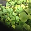 今の所いい感じだがカボチャの葉っぱが若干黄色い