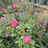 2012/05/13 春風 暖かい陽射しで次々と開いてきました