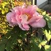 桜吹雪が積もっていても,まだ先端には花が残るサクラ.3週間近く咲いていました.そして,今日の暖かな日に, 今年初めて咲いた花が,なんと3種類も!     チョウジソウ(たぶん,ホソバチョウジソウ).ヒメウツギ.そして,ボタン.一年中で一番花が多い日々がしばらく続きそうです.