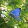 日本固有種の蝶が絶滅…外来種の脅威