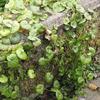 カキドオシ(シソ科)とツボクサ(セリ科)の葉