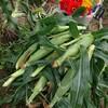 無農薬トウモロコシを収穫しました@新潟EMBC複合発酵バイオで栽培する健康農産物の会
