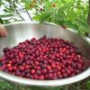 ジューンベリージャム Juneberry Jam 作りました。うまいうまい。