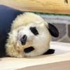 パンダが可愛すぎる!【神戸市立王子動物園】