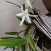 【セッコク】季節外れの花が咲く