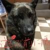 甲斐犬サンの「ミッション無事完了⁈」するか、の巻〜ガンバルオ‼︎٩( ᐛ )و