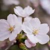 写真作品「町田市・芹ヶ谷公園の桜」 #EOSM6 #桜
