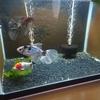 導入魚②:井ノ口銀鱗和錦・変わり。