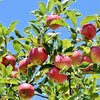 映画「奇跡のリンゴ」にみる禅の境地