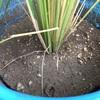 バケツ稲の中干し vs 長雨