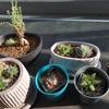 日光浴する多肉植物たち【夕方の撮影】