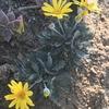 ユリの芽 ユリオプスデージー花