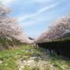 琴海町戸根川と中央公園の桜