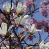 木蓮と横浜緋桜