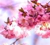 雪国の美しい桜舞う・動画で体験する北海道の花見スポット5選