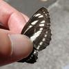 白い3本の線を持つ蝶 コミスジ