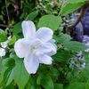 わが家の花たち5月 ー Part1 ー