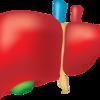 副腎疲労の回復のカギ「肝臓」