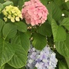紫陽花そして…お餅!
