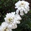 花壇に咲く純白の花束! イベリス・ブライダルブーケ