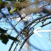 ウグイスの笹鳴き、ノラのクーさん、富士山